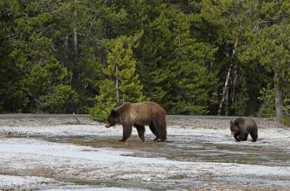 grizzly-bear-daisy-geyser