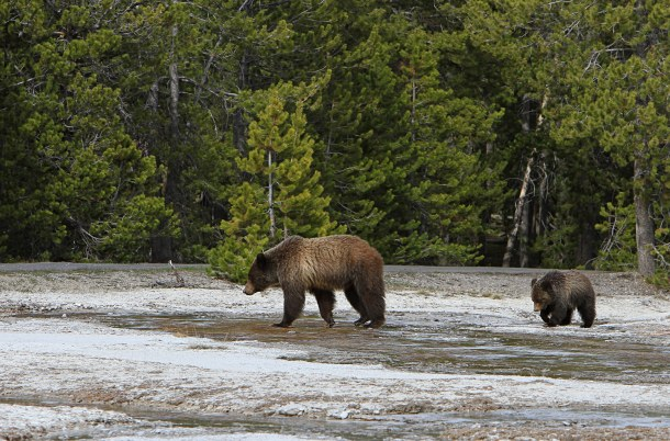 grizzly-bear-daisy-geyser