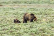 yellowstone-grizzly-bear-mom-and-cubs-c2a9-christopher-martin-8045